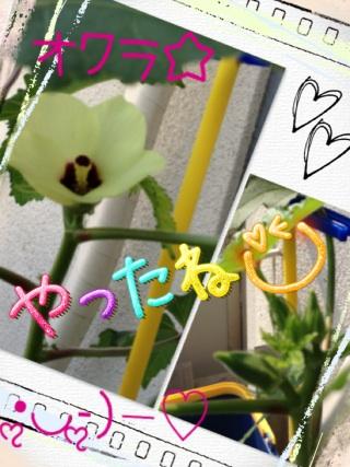 オクラ★花がさいた