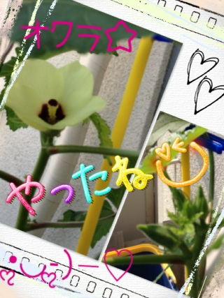 オクラ☆花が咲ぃた♪